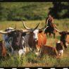 moore-ranch-longhorns-ks