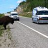 Buffalo on an Alaskan Highway