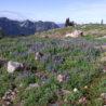 Alpine flowers on Mount Rainier