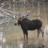 Moose in Quebec