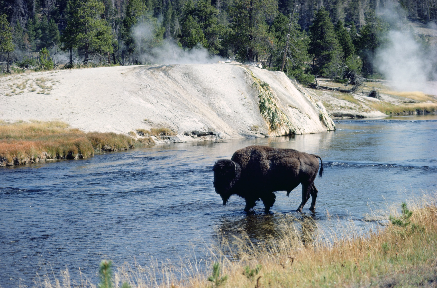 Bison at Yellowstone National Park