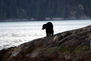 Grizzly Bears of Knight Inlet Lodge