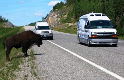 Buffalo on Alaska Highway