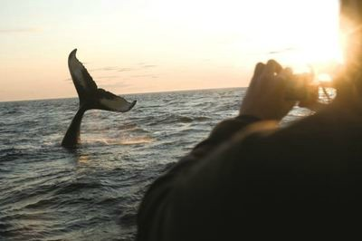 Whale breach, Canada