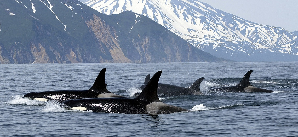 Orca watching in British Columbia, Canada
